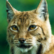 Portrait of a Lynx. — Stock Photo