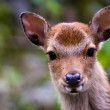 Sika deer portrait — Stock Photo