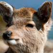 Sika deer fawn — Stock Photo