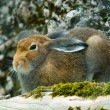 Sitting mountain hare — Stock Photo