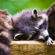 Sleeping racoons — Stock Photo #2350575