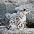 Snow leopard — Stock Photo