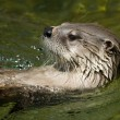 Swimming otter — Stock Photo #2350699