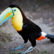 Toucan standing on the ground — Stock Photo #2350748
