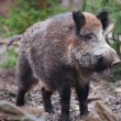 Stock Photo: Wild boar (lat. Sus scrofa)