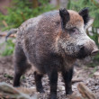 Wild boar (lat. Sus scrofa) — Stock Photo #2350895