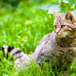 Wildcat in meadow - Stock Photo
