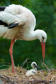 Mother and baby stork — Stock Photo