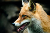 Red fox portrait — Stock Photo
