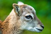 Sika deer fawn — Stock Photo