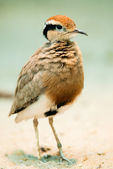 Temmincks Courser — Stock Photo