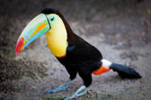 Toucan standing on the ground — Stock Photo
