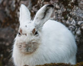 White mountain hare — Stock Photo