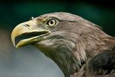 White-tailed Eagle — Stock Photo