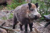 Wild boar (lat. Sus scrofa) — Stock Photo