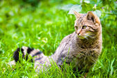 Wildcat in meadow — Stock Photo