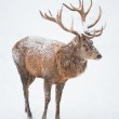 Male Red Deer (lat. Cervis elaphus) — Stock Photo #2466125