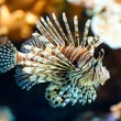 Red lionfish (lat. Pterois volitans) — Stock Photo