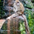 Crab-eating Macaque - Stock Photo