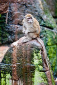 Crab-eating Macaque — Stockfoto