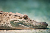 Philippine crocodile — Stock Photo