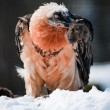 Bearded vulture — Stock Photo