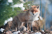 Red fox standing in the forest — Stock Photo