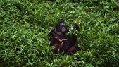 Orangutan mother and baby — Stock Photo