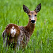 Roe deer — Stock Photo #2640852