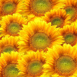 Stock Photo: Sunflowers background