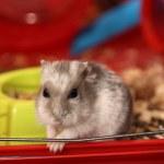 Little hamster — Stock Photo