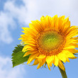 Sunflower with blue sky — Stock Photo #2507122