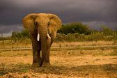 African Elephant — Stock Photo