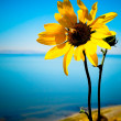 Stock Photo: Sunflower and Bee