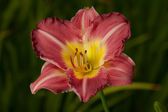 Red and Yellow Daylilly (Hemerocallis) — Stok fotoğraf