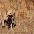 Golden Lab on Retrieve — Stock Photo