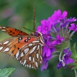 Stock Photo: Gulf Fritillary Butterfly