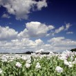 Stock Photo: Field of poppy seed flowers