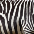 Stock Photo: A zebra texture Black and White