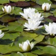 Water lilly — Stockfoto #2382949