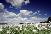 Field of poppy seed flowers — Stock Photo