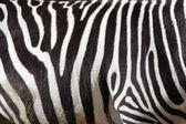A zebra texture Black and White — Stock Photo