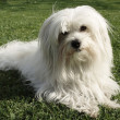 Coton de Tulear — Stock Photo #2479925