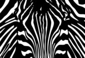 Zebra background — Stock Vector