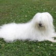 Coton de Tulear — Stock Photo #2480913