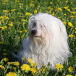 Coton de Tulear — Stock Photo