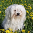 Stock Photo: coton de tulear