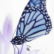 Stock Photo: Beautiful monarch butterfly