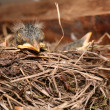 Baby bird resting in nest — Stock Photo