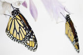 Beautiful monarch butterflies — Stock Photo